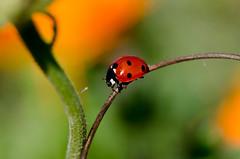 Demoiselle cocinelle (Doriane Boilly) Tags: coccinelle rouge insecte garden nature prairie champs macro