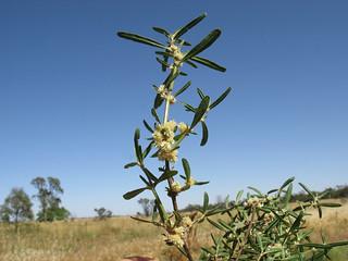 Alternanthera denticulata branch4 CWS
