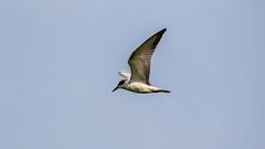 In flight (Akhil Sanjeev) Tags: tern whiskeredtern chlidoniashybrida punnnamada alleppey alappuzha lake kerala