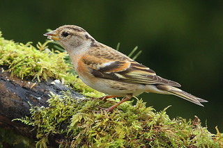 BRAMBLING...female...Male & Female back in the garden for the forth year running......Look on large..