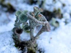 Cladonia pyxidata (chaerea) Tags: bc canada cladonia forest fungi lichen mycology nature woodland