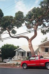 Franklin Hills Dr. Suess tree (ADMurr) Tags: la franklin hills forked tree red truck leica m4 kodak ektar film 50mm