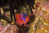bbgobyDec10-16 (divindk) Tags: anacapa anacapaisland californiaunderwater channelislands channelislandsnationalpark sanmiguelisland santabarbara santacruzisland santarosaisland underwater ventura bluebandedgoby catalinagoby color diverdoug fish goby marine ocean reef sea spines stripes underwaterphotography urchin