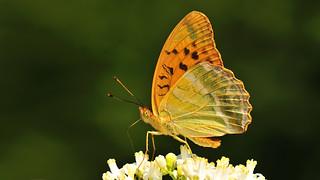 Argynnis paphia ♀