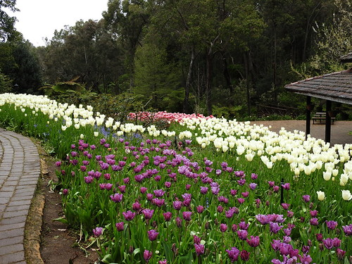 More tulips from Araluen Botanical Park in October, 2016