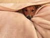 Can't see me (KelJB) Tags: dog adorable funny animal canine pet cute terrier jackrussell