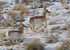 On the Run - Pronghorns Running - 0958b (teagden) Tags: pronghorn antelope run running snow winter jenniferhall jenhall jenhallphotography wildlifephotography wildlife nature naturephotography photography nikon wild wyoming runninguphill