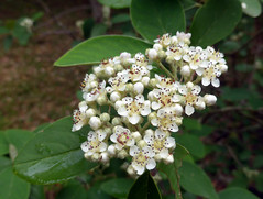 Cotoneaster frigidus Wall. ex Lindl. 1829 (ROSACEAE) (helicongus) Tags: cotoneasterfrigidus cotoneaster rosaceae jardínbotánicodeiturraran spain