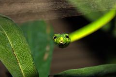 Green Vine Snake, Bioparc, Fuengirola, Andalusia, Spain (rmk2112rmk) Tags: greenvinesnake oxybelisfulgidus bioparc fuengirola spain vinesnake snake herps reptile macro bokeh dof