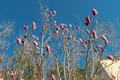 UC Davis Arboretum - December 31 2016 (atgc_01) Tags: lumix lx5 ucdavis arboretum winter