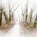 Through the Hoar Woods