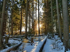 The sun lights the dark forest (walneylad) Tags: loutetpark northvancouver britishcolumbia canada park parkland urbanpark woods woodland forest rainforest urbanforest trees ferns moss trail sun bluesky shade snow ice january winter green brown gold white scenery view nature