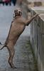Weimaraner schaut über die Kaimauer (Andreas Issleib) Tags: canoneos5dmarkiii tierwelt umwelt winter tier säugetiere canonef70200mmf28lisiiusm weimaraner hund dog hunde welpe sassnitz deutschland de
