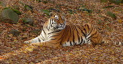 Siberian tiger (joeke pieters) Tags: 1310378 panasonicdmcfz150 siberischetijger pantheratigrisaltaica siberiantiger amurtijger amurtiger sibirischetiger tigredesibérie ouwehandsdierenpark rhenen gelderland nederland netherlands holland ngc npc platinumheartaward