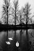 Swans and Trees (Crisp-13) Tags: tree trees river reflection swan swans bird swimming black white monochrome salisbury wiltshire churchill gardens avon