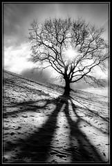 Tree in the Sun (lonobi) Tags: münchen 2017 baum pflanze panasonicfz1000 schnee flickr wetterundtageszeiten orteundsehensewürdigkeiten winter olympiapark schwarzweis deutschland tree snow munich blackwhite