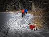 what is this thing called skiing? (mgstanton) Tags: heard dog ski wayland winter xc crosscountryski on1 sonya6000 sonyalpha waylandma