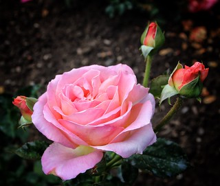 Sonnenberg Gardens & Mansion Historic Park ~ Canandaigua NY ~   Pink  Rose
