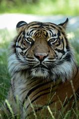 Sumatran Tiger (mellting) Tags: djurparker eskilstuna parkenzoo platser sigma1506005063sport bloggad flickr instagram matsellting mellting nikon nikond7000 sverige sweden sumatrantiger sumatratiger pantheratigrissumatrae tiger zoo animal mammal bigcat