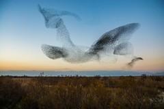 El Vol II (vilchesdavid) Tags: starlings emporda aiguamolls atardecer sunset flight birds pajaros murmuration estorninos aves flocking bandada naturephotography nikond7100