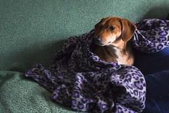 Regal (Chris B Richmond) Tags: dslr canon t4i prime georgia jonesboro closeup dog woofer pupper canine reckless regal majestic comfy comfortable snug blanket couch purple ears face alive pet pets
