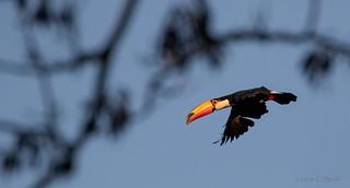 Toco Toucan in Flight