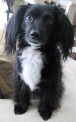 IMG_5092 (2) (pepplerchristine) Tags: dog smalldog blackdog mixbreed dachshund longhaireddachsund nori