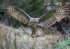 Great Gray Owl Wings Spread.jpg (MyKeyC) Tags: ggo greatgrayowl strixnebulosa landing attacking wingsspread california owl gray