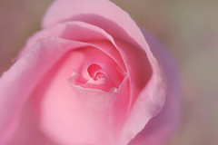 rêve de rose (christophe.laigle) Tags: rose rêve dream fleur macro xf60mm nature flower fuji douceur softness xpro2 pink christophelaigle macrounlimited itsallaboutflowers callingallangels