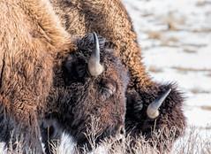 The Weekend - Life Is Good! (edmason88) Tags: bison lunch close wild elkislandnationalpark tamron150600 parkscanada150thanniversary snooze eyes fur wool