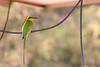Bird on a wire (Thomas Retterath) Tags: 2017 baum nature natur tree thomasretterath forest wald india indien asia asien tadoba wildlife greenbeeeater smaragdspint bienenfesser vögel bird birds vogel animals tiere meropsorientalis