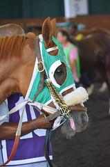 2015-07-26 (15) r8 #10 Indigo Creek (JLeeFleenor) Tags: photos photography md laurelpark marylandracing marylandhorseracing racing racetrack horses thoroughbreds equine equestrian cheval cavalo cavallo cavall caballo pferd paard perd hevonen hest hestur cal kon konj beygir capall ceffyl cuddy yarraman faras alogo soos kuda uma pfeerd koin حصان кон 马 häst άλογο סוס घोड़ा 馬 koń лошадь paddock maryland