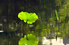 Lotus12 (tsangkalil) Tags: plant flower lotus taiwan