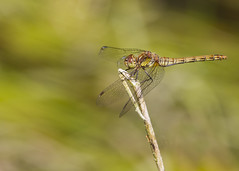 Dragonfly (chrissmithphotos1) Tags: summer macro nature beautiful insect outdoors dragonfly wildlife wing swamp environment marsh fragility animalhead animalbody