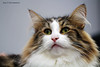 IMG_7811a_c (JANY FEDERICO GIOVANNINETTI) Tags: hairy cats cat hair eyes funny soft sweet expressions occhi international felini gatto gatti divertenti pelosi pelo dolci pedigree internazionale sguardi espressioni razza soffice soffici