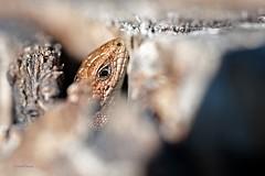 Waldeidechse (DianaFE) Tags: lizard makro holz reptil eidechse waldeidechse freihandmakro