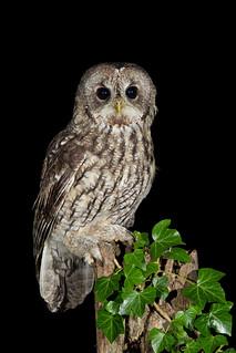 AW9H1768 - Tawny Owl - Grey Phase (Strix aluco)