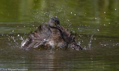 5-La alegría de la laguna( TIGUA SPA)!!Centro de spa o centro de hidroterapia corporal a precio especial.Favor hacer cita con doña Tigua Estevez!!Dedicada a LA LEYENDA DE FANTINO TIMOTEO ESTEVEZ!!! (Cimarrón Mayor 16,000.000. VISITAS GRACIAS) Tags: naturaleza bird fauna libertad dominicanrepublic pássaro ave oiseau libre vogel montañas caribe uccello panta ptak fågel lintu repúblicadominicana repdom птица dominicano ptica πουλί quisqueya птах tigua ptáček zambullidormenor libertee cimarrónmayor canoneos7dmarkii 7dmarkii josémiguelpantaleón canon7dmarkii telefoto700mm zampullínmacacito ordenpodicipediformes familiapodicipedidae zambullidorchico macágris génerotachybaptus zampullínenano nombrecientificotachybaptusdominicus nombreinglesleastgrebe lugardecapturacotuí isladelahispaniola