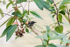 Orange-bellied Flowerpecker (female) (arnewuensche66) Tags: birds wildlife borneo vögel flowerpecker dicaeumtrigonostigma orangebelliedflowerpecker orangebauchmistelfresser