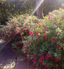 Ray of Light (Michael G Devereux) Tags: cameraphone camera flowers light plants sunlight colour green experimental phone purple magenta fuschia depthoffield rays sunbeam raysoflight