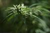 Cannabis head (f/4) Tags: india manali cannabis himachal tosh kullu hashish pradesh charas parvati