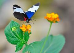 Heliconius sara JVA_1018 (mrjean.eu) Tags: sara sp atlas demi insectes attacus papillons heliconiinae deuil heliconius phaetusa dryatula