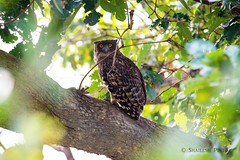 Brown Fish Owl. Ranthambore national park. India (drchristo4) Tags: india bird nature owl ranthambore ketupazeylonensis bubozeylonensis