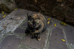 Tivoli - Cat 2 - (CristinaProietti) Tags: italy nature look animal cat tivoli eyes sony sguardo felino gatto