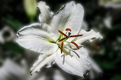 Pop Out Pistil & Stamen (Donald.Gallagher) Tags: usa brown white flower green petals purple pennsylvania pa northamerica longwoodgardens longwood popout lenstagger pistilstamen gauseanblur
