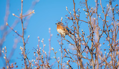 From my front yard! (Explored 12/22/15) (melike erkan) Tags: tree bird home roc dof bokeh rochester newyorkstate bluebird nys rochesterny westernny pittsfordny