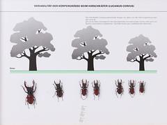 Coleoptera Lucanidae (nmbeinvertebrata) Tags: nmbe0143 coleoptera lucanidae lucanuscervus exhibition