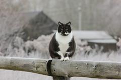 (nettisrb) Tags: katze kätzchen cat kater bokeh kitty feline felino felin gatti katzen chat gato kot kotka kedi hauskatze winter winterscene frost