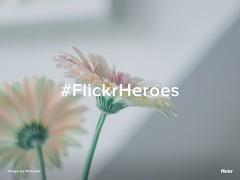 Flickr Heroes of the Week (Flickr) Tags: flickrheroes gerbera flowers