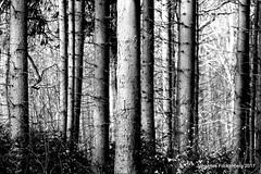 Baum WG (grafenhans) Tags: sony alpha 700 alpha700 a700 minolta af 455675300 schwarz weiss black white wald winter schatten baum bäume stamm grafenwald